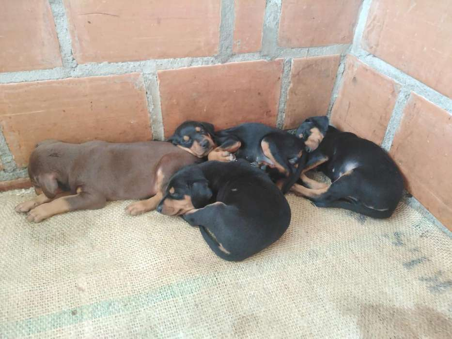 Cachorros doberman. Disponibles machos y hembras