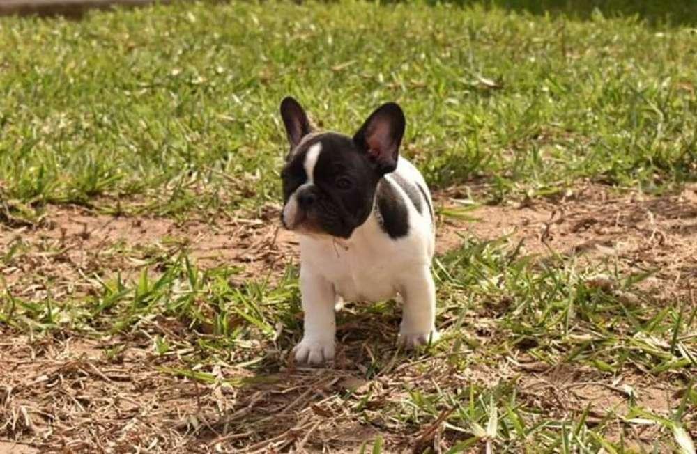 Hermosos Bulldog Frances Vaquitas