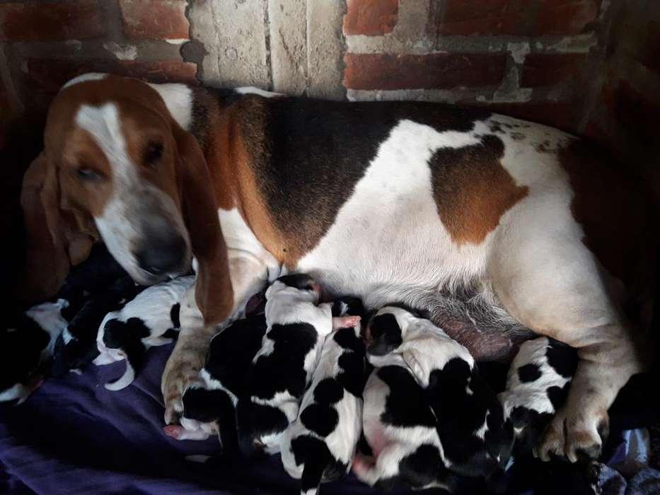 Cachorros de Basset Hound..batatitas