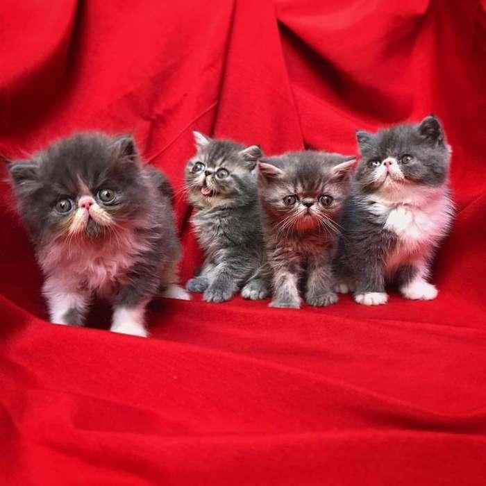 Gatos Persas Extremos Exóticos Guapos
