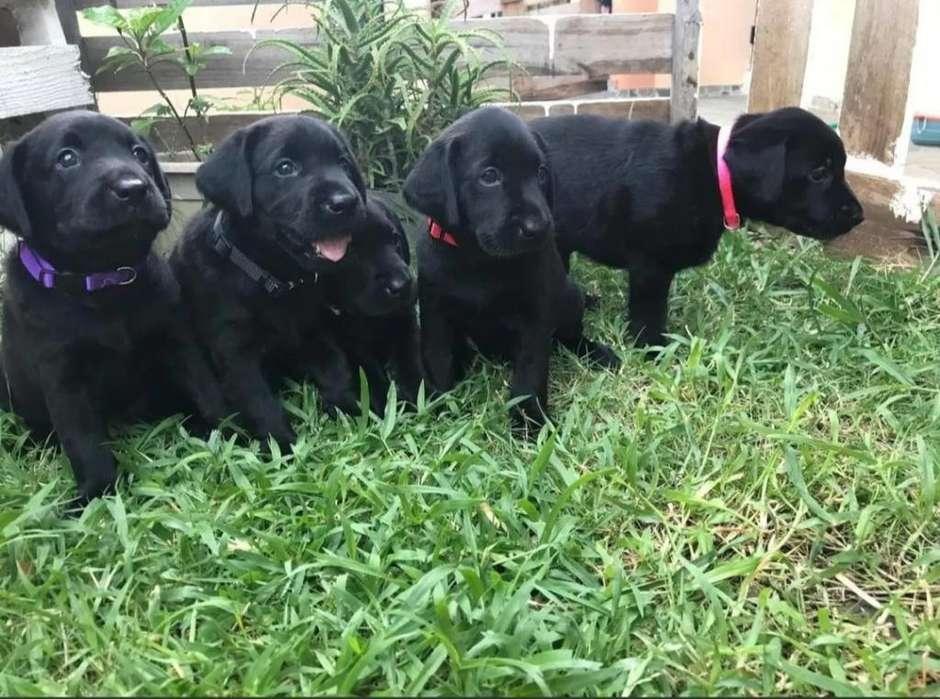 Cachorros Labradores Puros a La Venta
