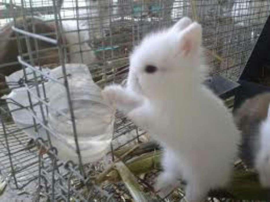 Conejos de Varias Raza Legitimos Enanos