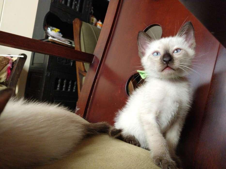 Gatos Gatitos Siames Puros Muy Hermosos