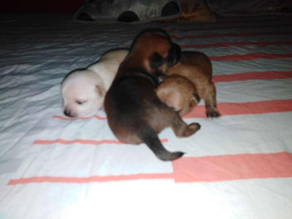 Venta de Cachorritos Chihuahuas de 1 Mes