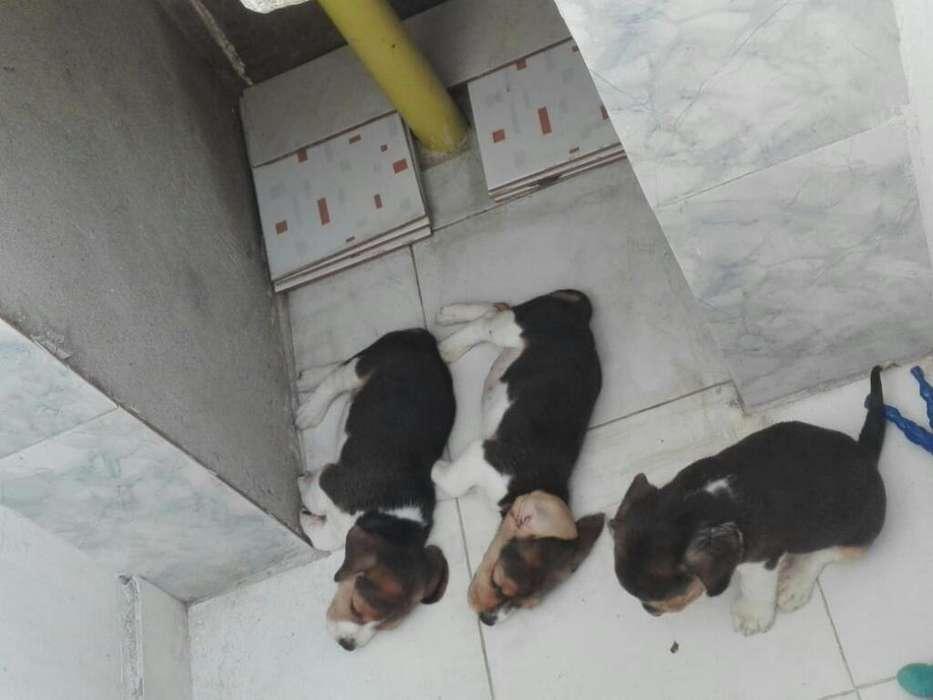 Vendo <strong>perros</strong> Beagles