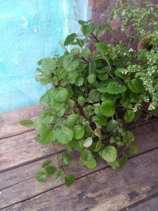 Plantas Hermosas Potus Grande