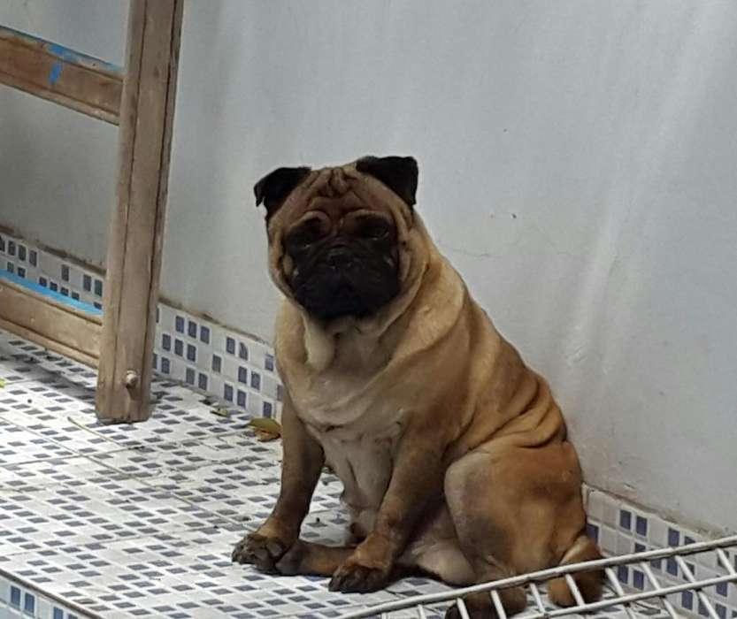 Hermoso Pug busca novia