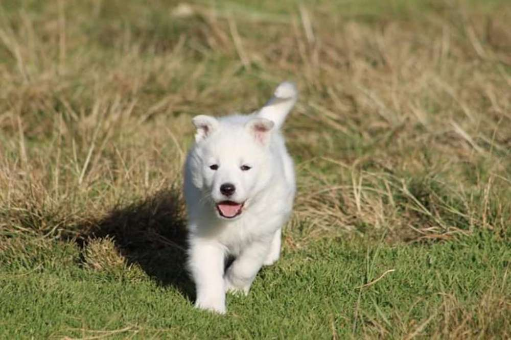 Husky Siberiano Blanco