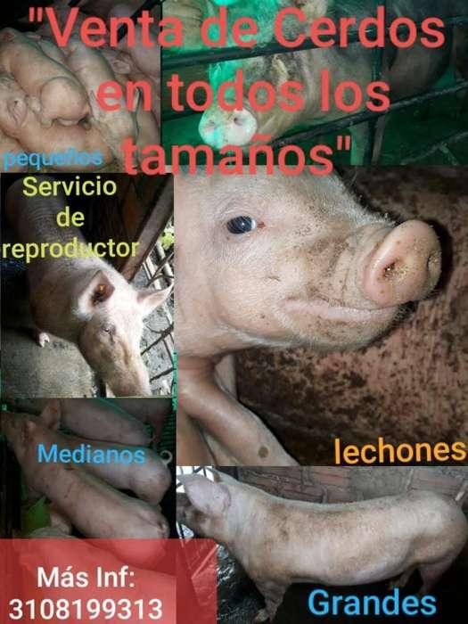 <strong>cerdo</strong>s Pereira en Todos Los Tamaños