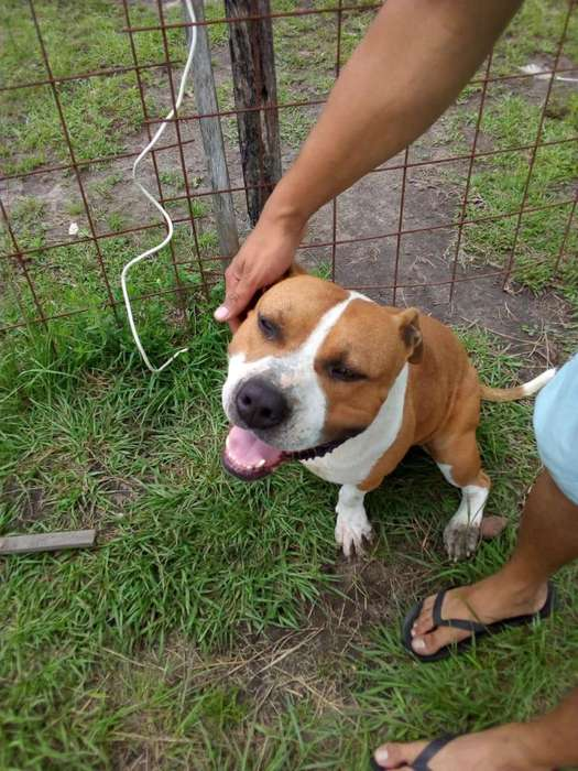 American Staffordshire Terrier Busca