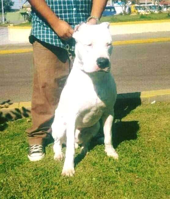 Disponibles <strong>cachorro</strong>s Dogo Argentino Tacna Peru