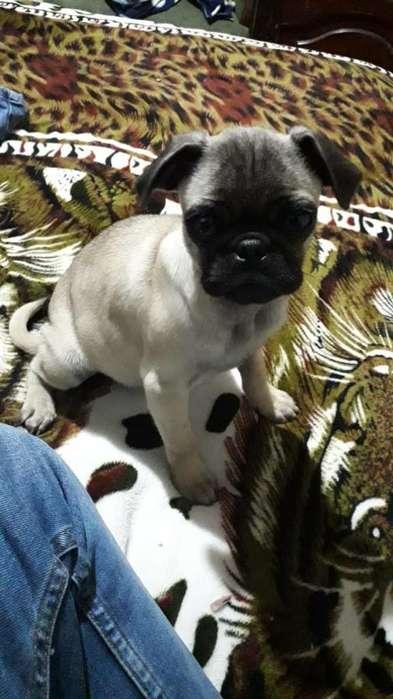 Cachorro Pug de Tres Meses