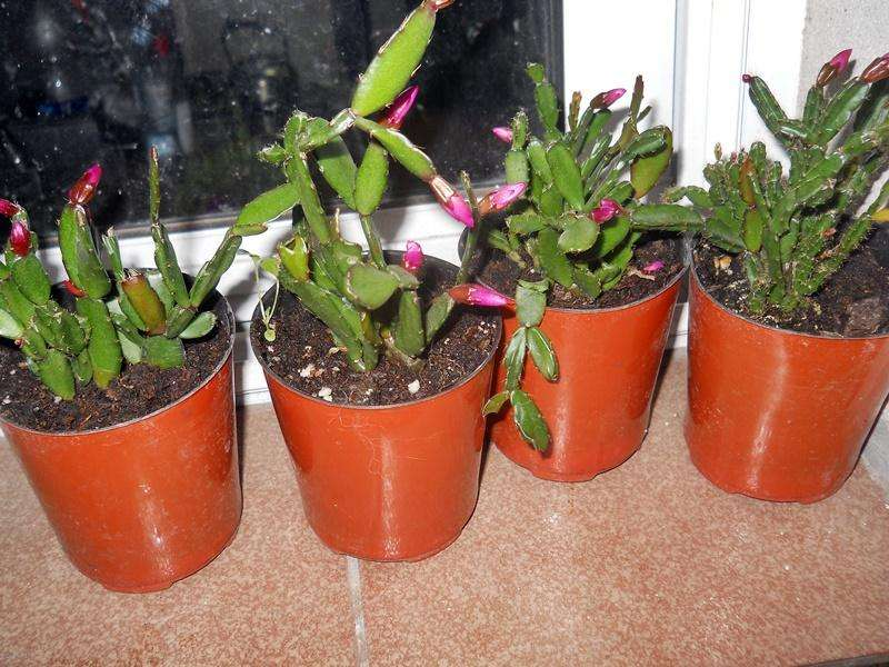 Cactus Santa teresita maceta 10