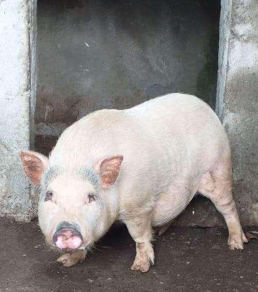 Cerdo de Raza Mediana