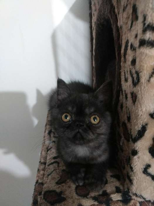 Hermosos Gatos Persas
