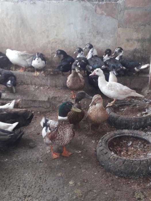 Vendo Hermosos <strong>patos</strong> Cambell