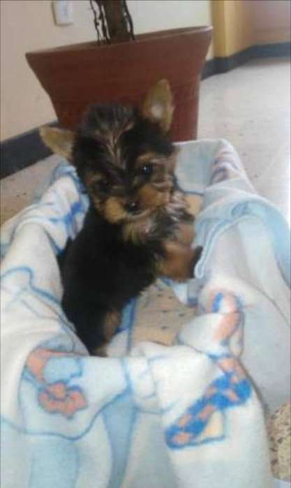 Hermosos Yorkshire Terrier Disponibles