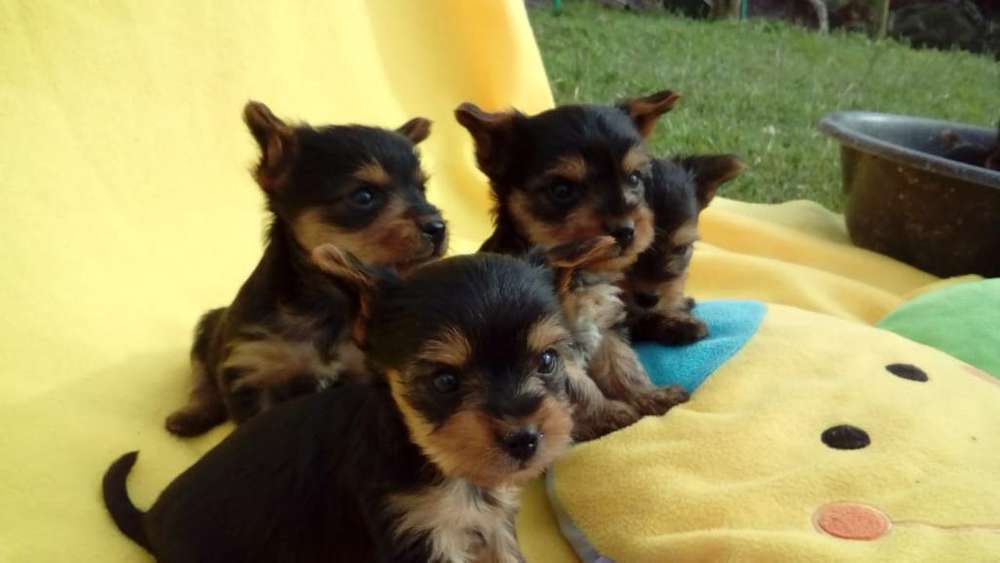 Cachorros Yorkshire Terrier Tea Cup