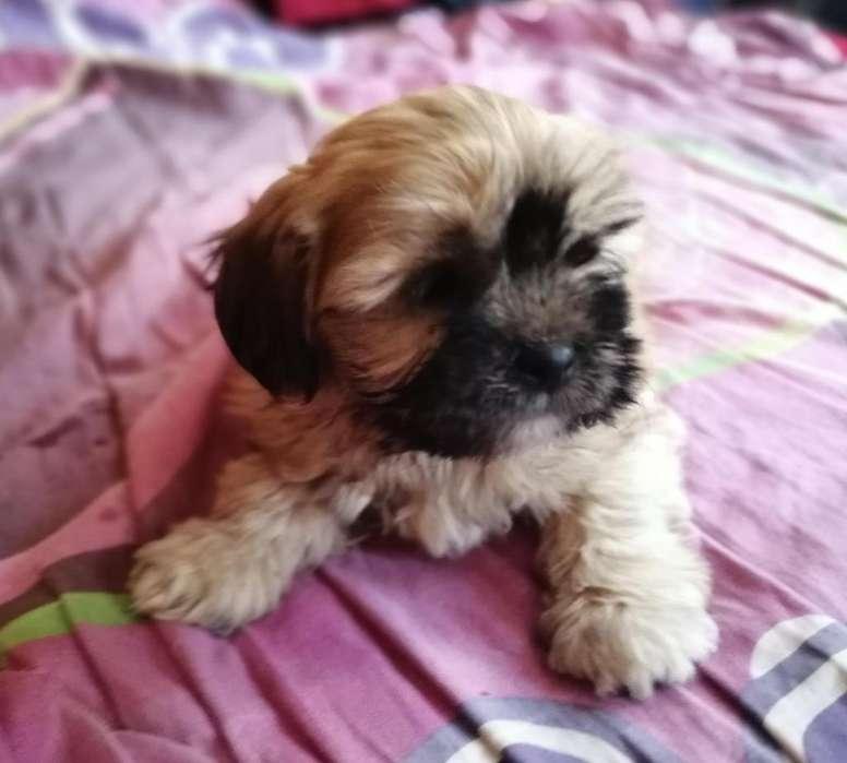 lindos cachorritos Shitzu 920177880