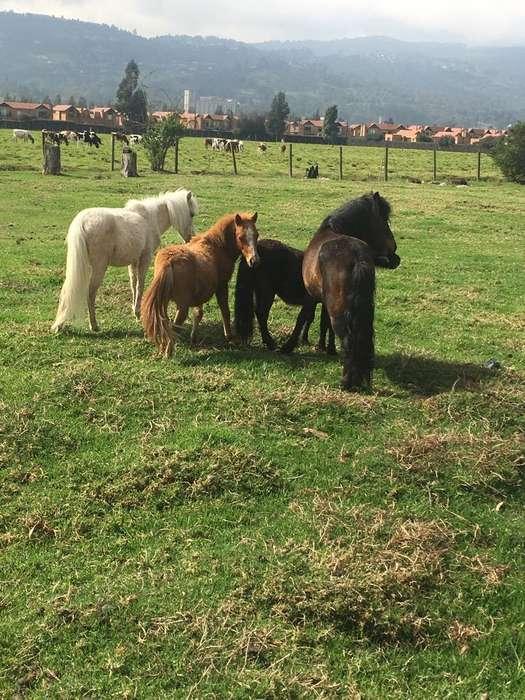 Venta de Ponys Hembras Y Machos
