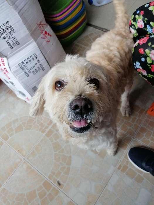 Vendo Perro de Raza Cuanto Dan vendo