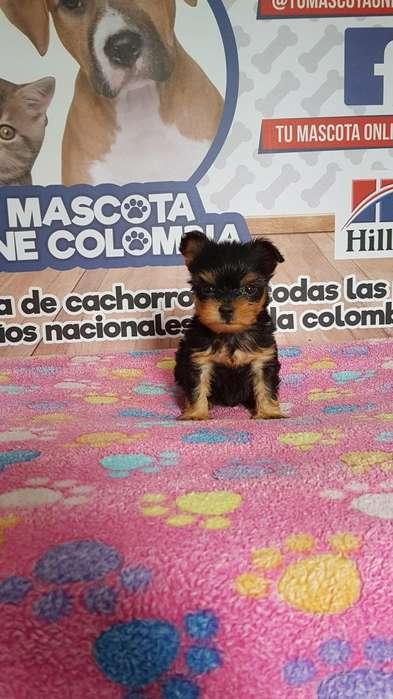 Bolsilleros Yorkshire <strong>terrier</strong> Tacita Gil