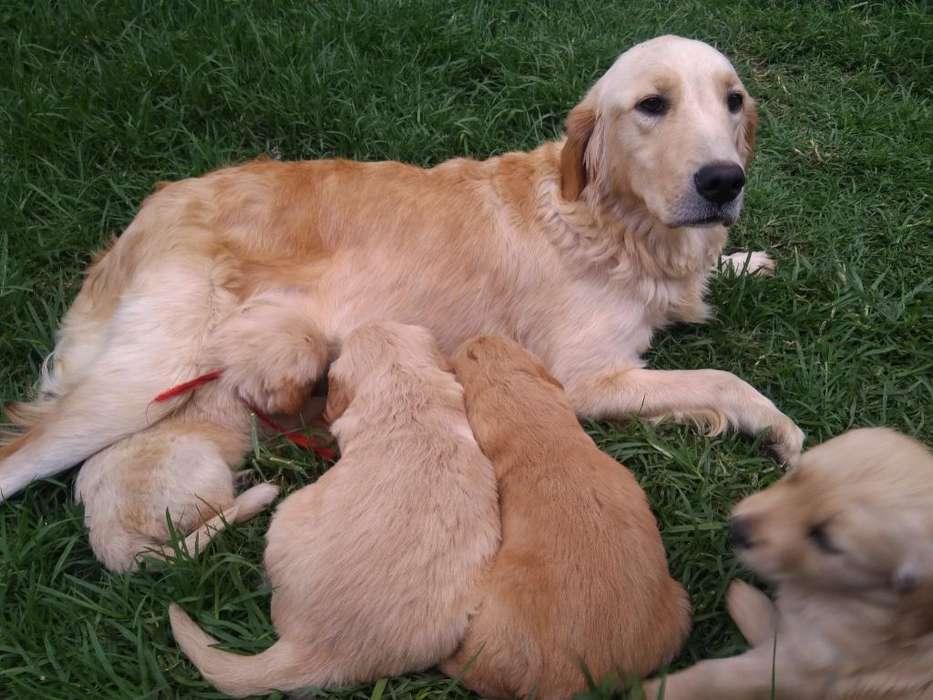 Se Venden Cachorros Golden Americanos