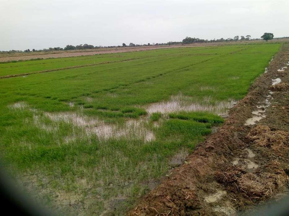 terreno Arrocero en oferta 5 has vendo por 4 con plan de cultivo zona mochumi 45 por hectárea