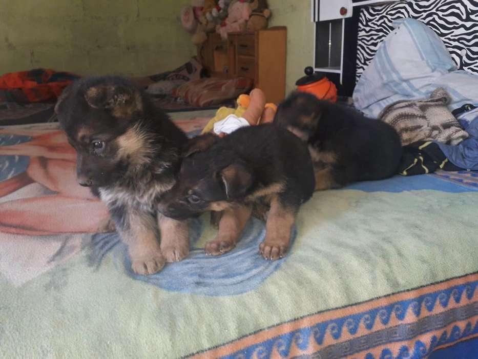 Vendo 3 Hermosos Cachorros Pastor Aleman