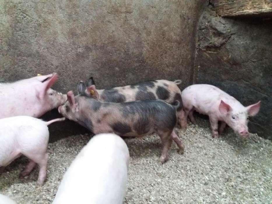 Lechones Y Cerdos de Reproducción