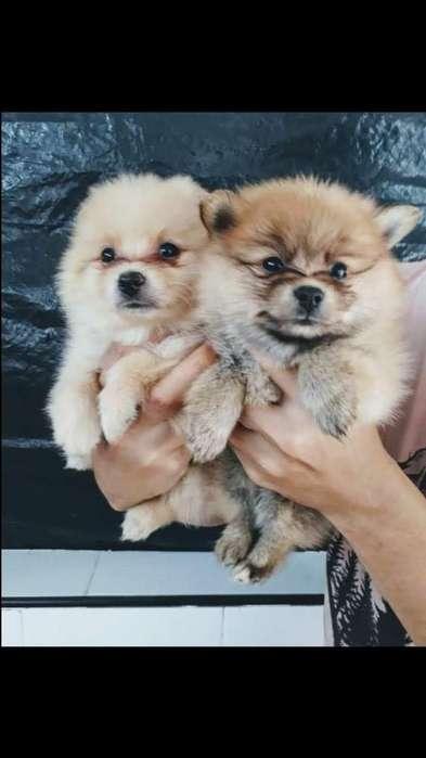 Venta de Cachorros Pomeranias Lulu