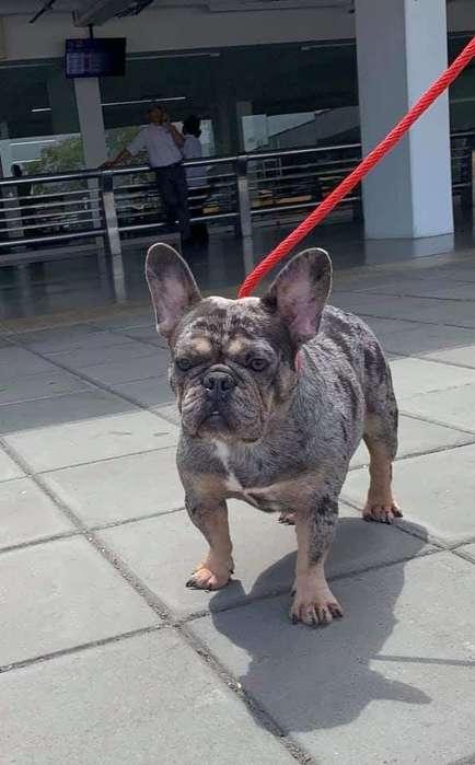 Bulldog Francés Machos Gen Blue