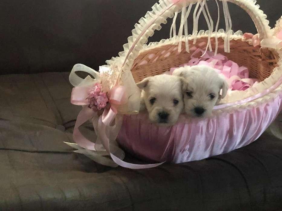 Cachorros de Bichon Maltés Y Yorshire