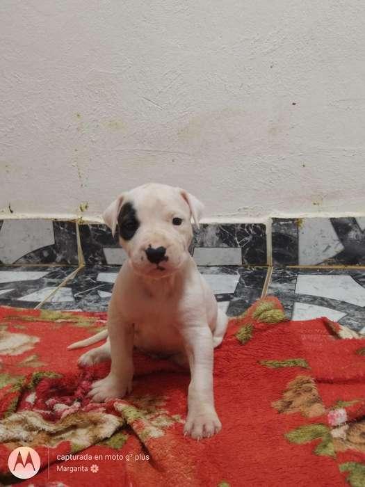 Dogo Argentino Listo para Entregar