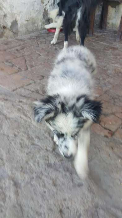Cachorro Border <strong>collie</strong> Disponible