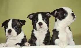 FIELES BOSOTON <strong>terrier</strong> CACHORROS EN VENTA