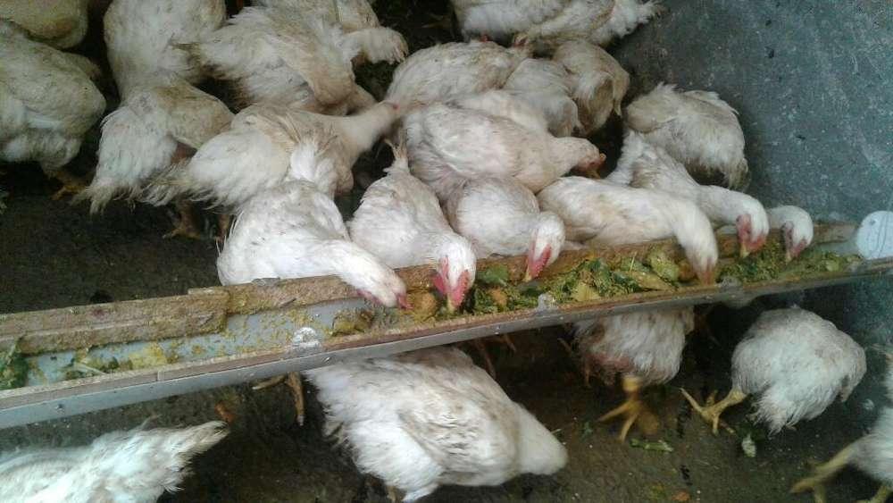 Vendo <strong>pollos</strong>