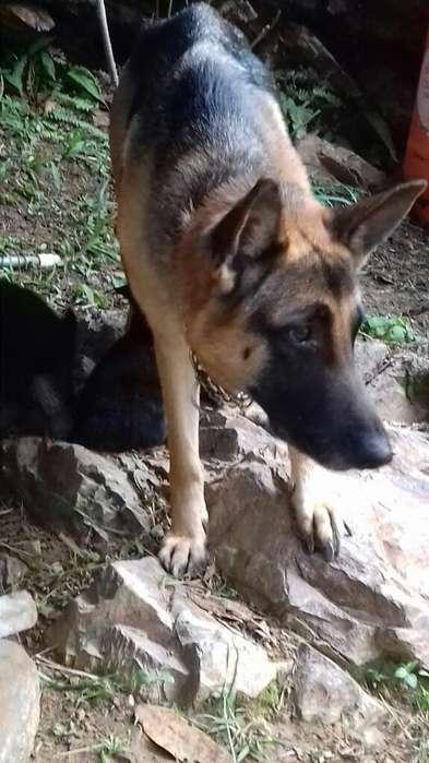 Vendo Cachorros Cachorros Pastor Alenman