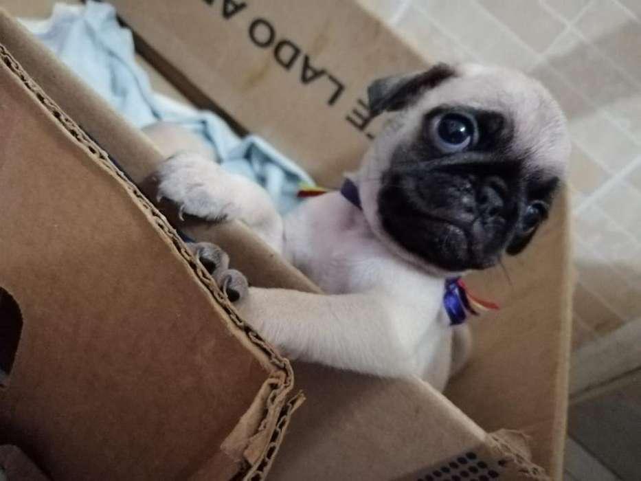 <strong>perro</strong> Pug