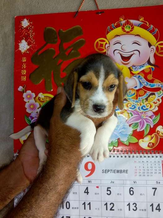 Cachorros <strong>beagle</strong> Tricolor 100% Puros