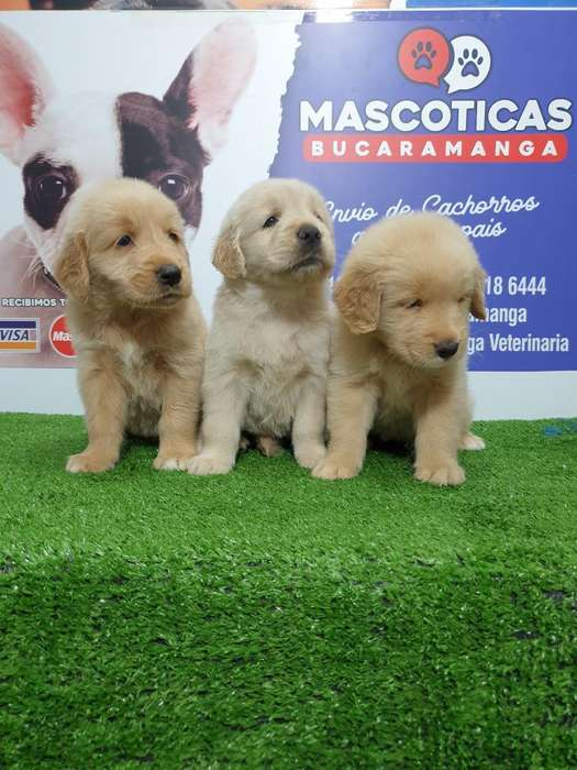 Bellas Y Lindas Golden Retriever Puras