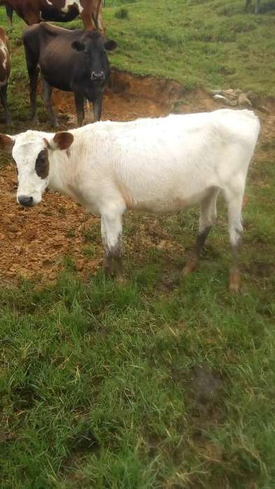 Vendo Ternera Holstein Rojo