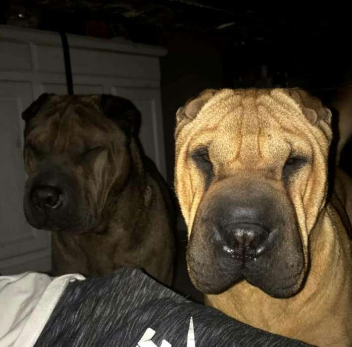 <strong>perro</strong>S SHARPEI
