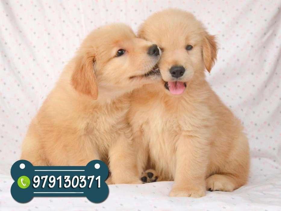 Bellos Cachorros Golden Retriever * Garantía de Raza y salud *Pastor Aleman*Pug*Pomerania*Labrador*Husky*Samoyedo*Akita