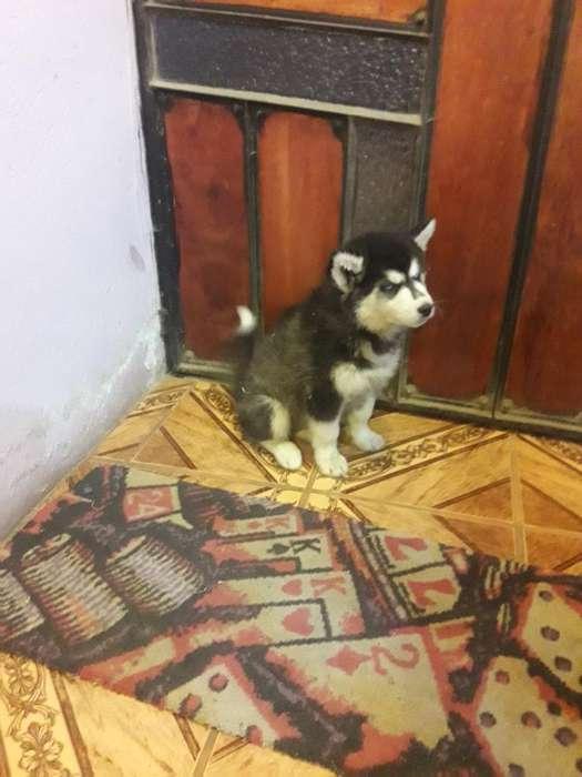 Husky Siberiano 0968123096
