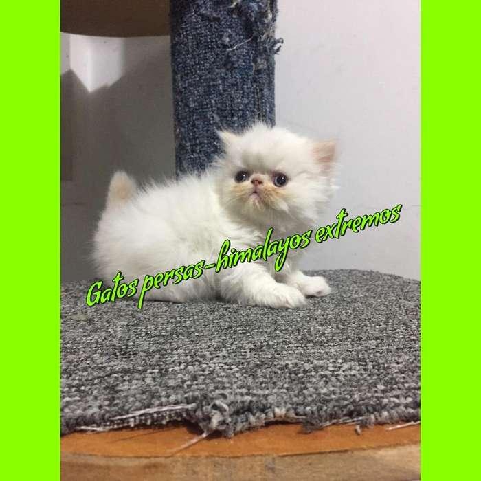 Gatos Persas - Exoticos - Himalayos