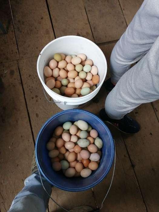 Huevos Criollos Al por Mayor