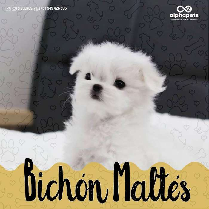 CACHORROS BICHÓN MALTES- BICHÓN FRISÉ-<strong>chihuahua</strong>-POODLE-JACK RUSSEL-YORKY-SHARPEI- LIMA