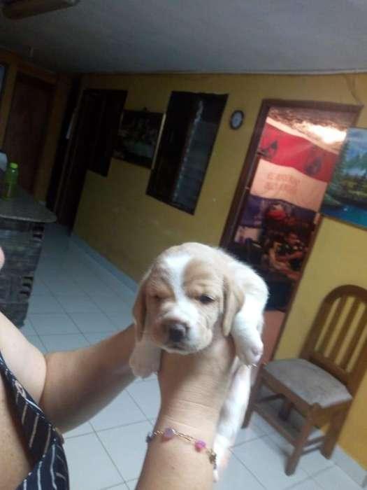 Venta Beagle Limon Perrita
