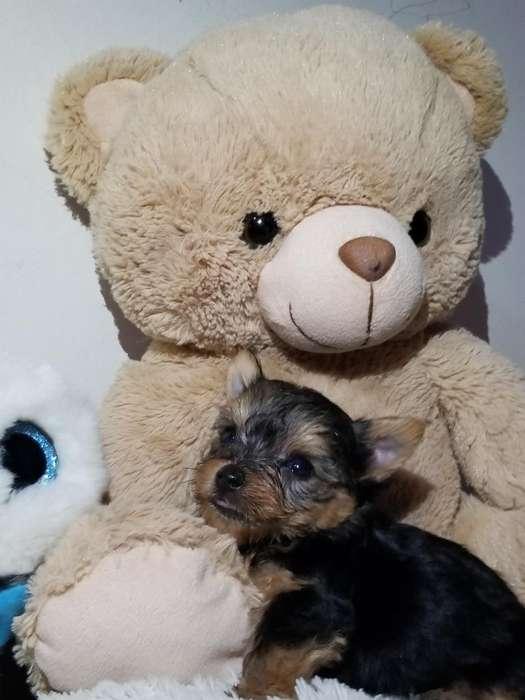 Yorkshire Terrier Machoo Miny